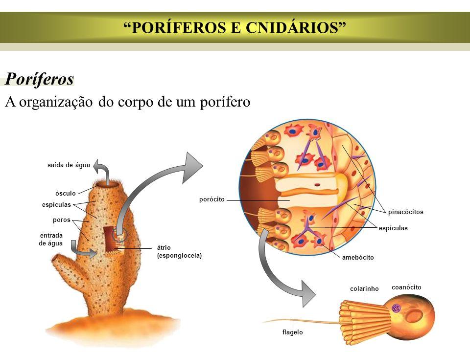 PORÍFEROS E CNIDÁRIOS