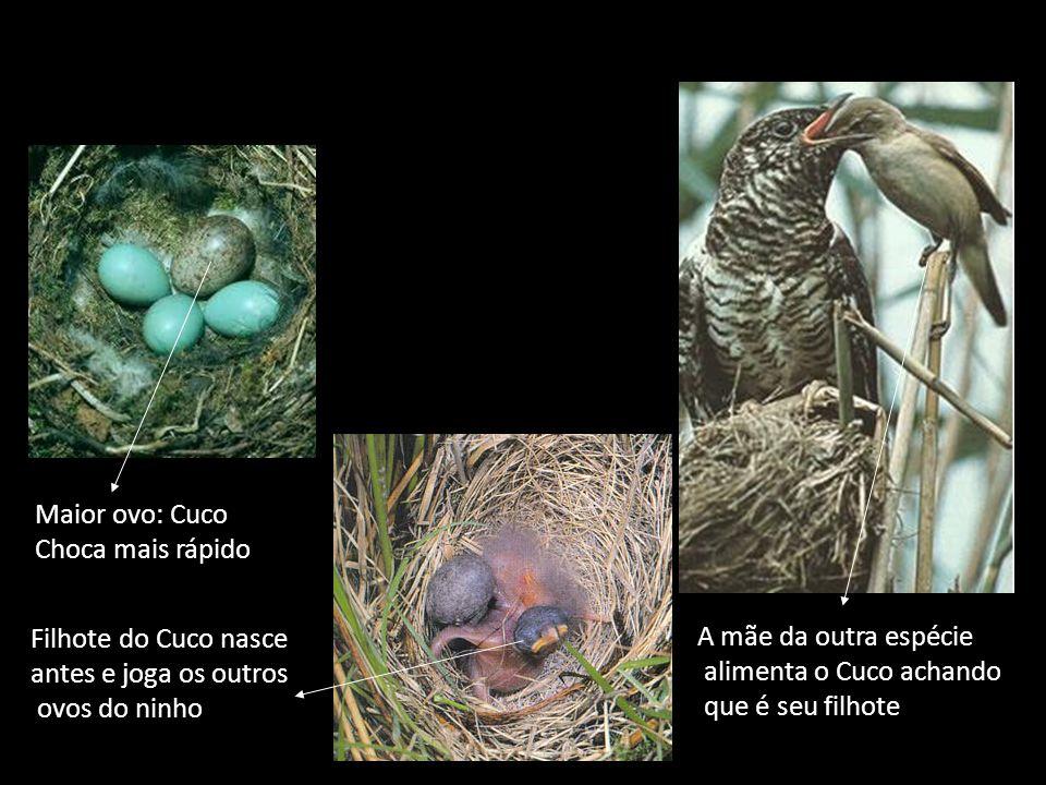 Maior ovo: Cuco Choca mais rápido. Filhote do Cuco nasce. antes e joga os outros. ovos do ninho.