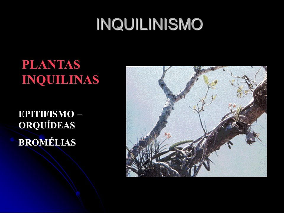 INQUILINISMO PLANTAS INQUILINAS EPITIFISMO – ORQUÍDEAS BROMÉLIAS