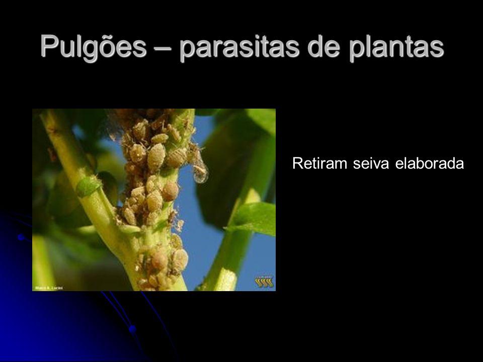 Pulgões – parasitas de plantas