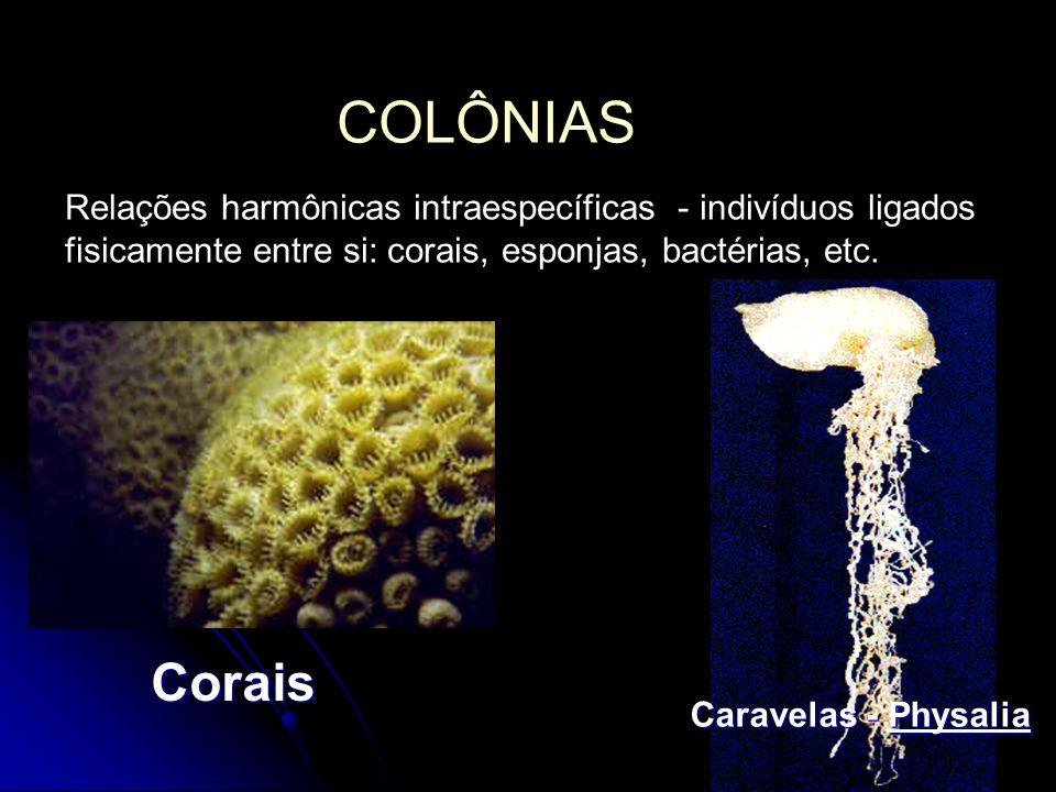 COLÔNIAS Relações harmônicas intraespecíficas - indivíduos ligados fisicamente entre si: corais, esponjas, bactérias, etc.