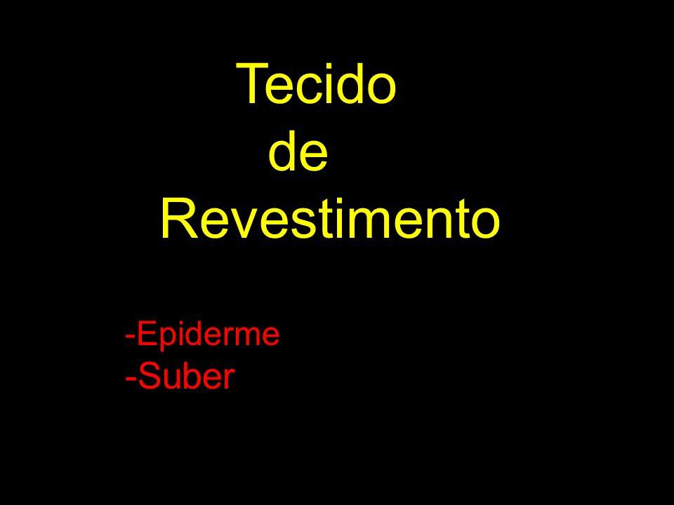 Tecido de Revestimento -Epiderme -Suber