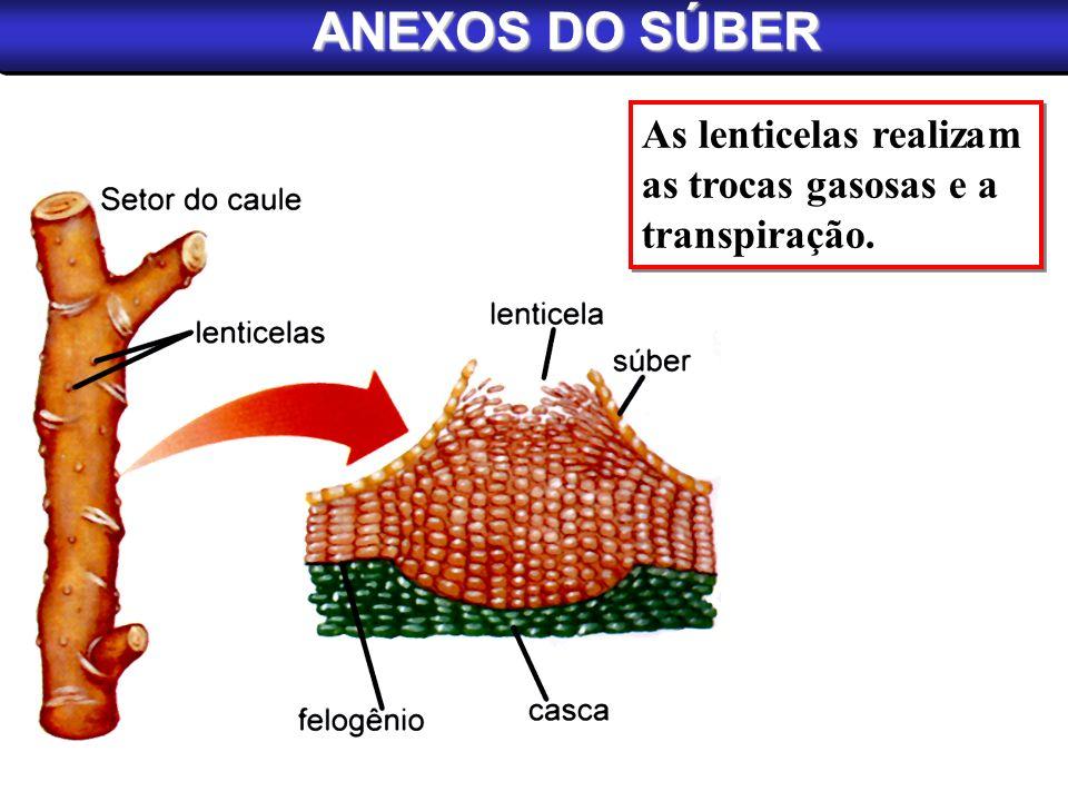ANEXOS DO SÚBER As lenticelas realizam as trocas gasosas e a