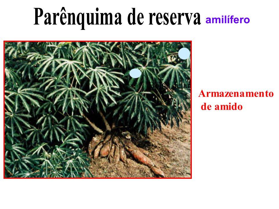Parênquima de reserva amilífero Bolsa de ar Armazenamento de amido