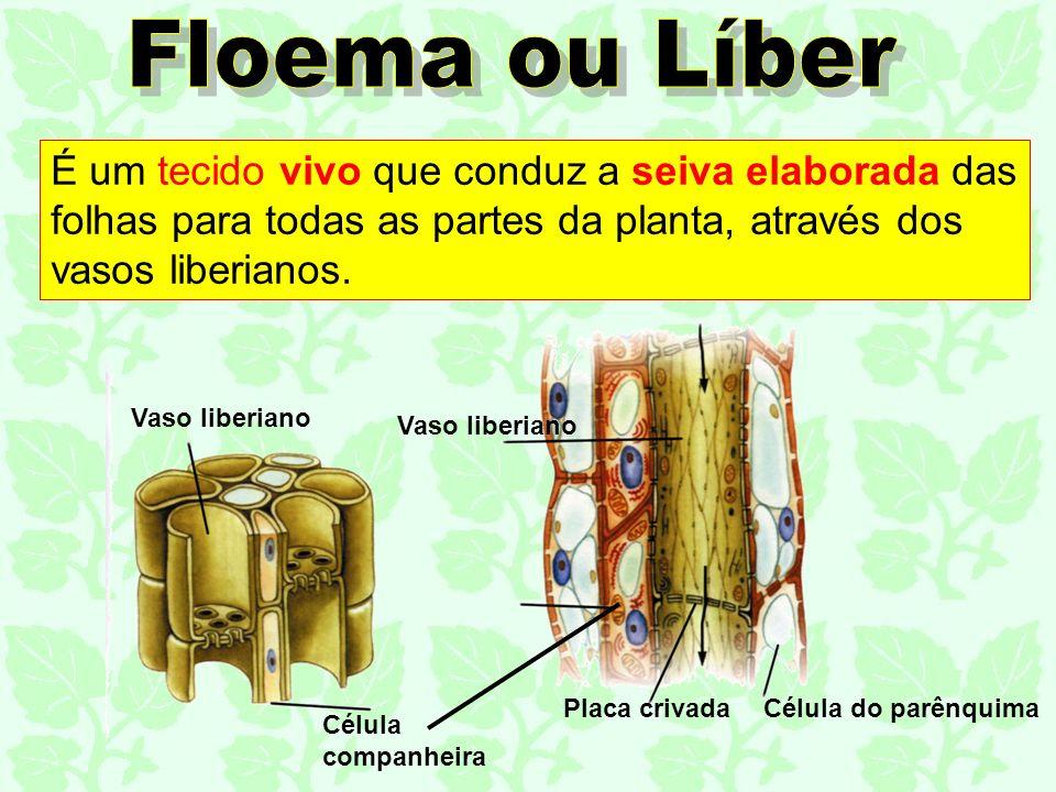 Floema ou Líber É um tecido vivo que conduz a seiva elaborada das folhas para todas as partes da planta, através dos vasos liberianos.