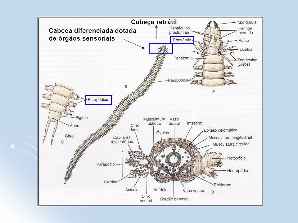 Cabeça retrátil Cabeça diferenciada dotada de órgãos sensoriais