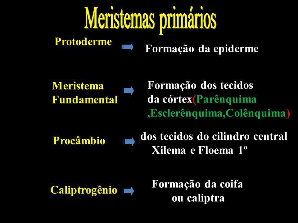 * Na raiz: Meristemas primários Protoderme Formação da epiderme