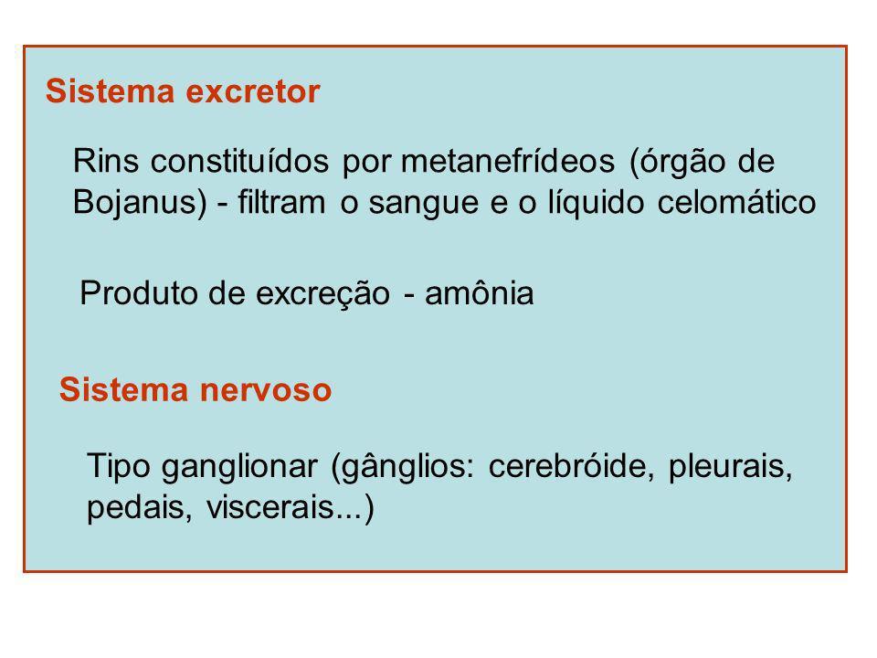 Sistema excretor Rins constituídos por metanefrídeos (órgão de. Bojanus) - filtram o sangue e o líquido celomático.