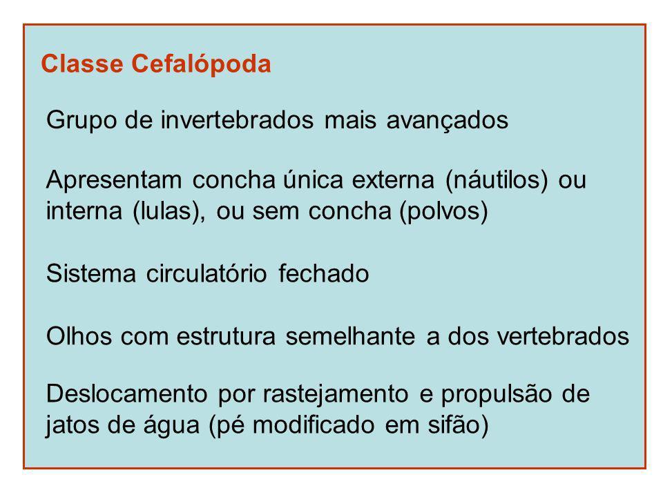 Classe Cefalópoda Grupo de invertebrados mais avançados. Apresentam concha única externa (náutilos) ou.