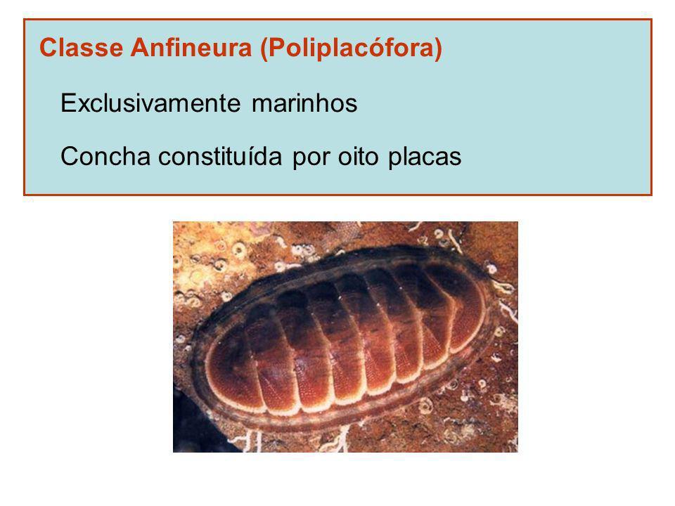 Classe Anfineura (Poliplacófora)