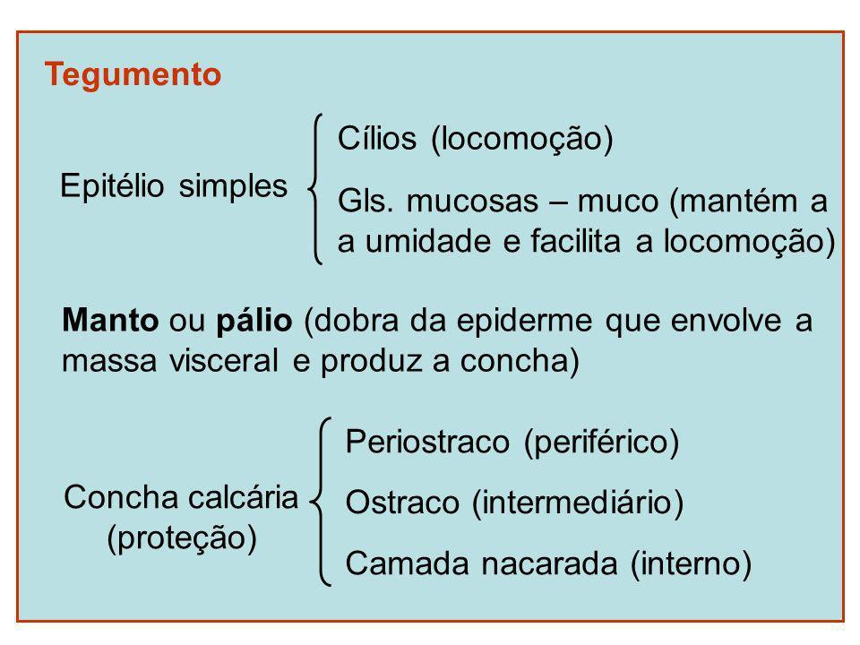 Tegumento Epitélio simples. Cílios (locomoção) Gls. mucosas – muco (mantém a. a umidade e facilita a locomoção)