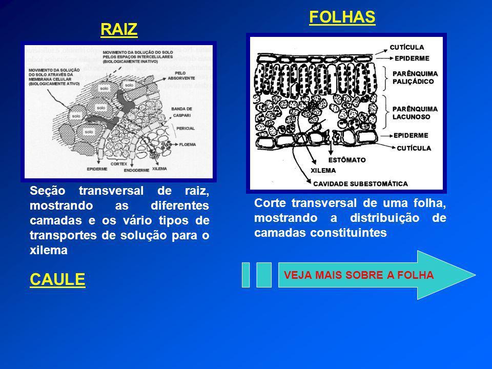 FOLHAS Corte transversal de uma folha, mostrando a distribuição de camadas constituintes. RAIZ.