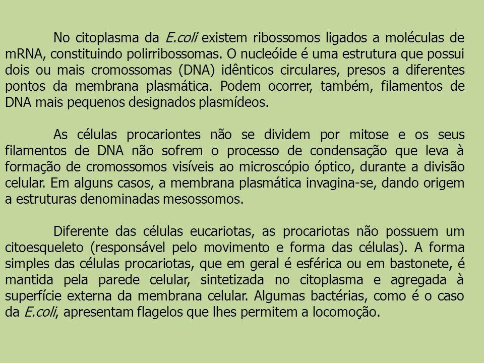 No citoplasma da E.coli existem ribossomos ligados a moléculas de mRNA, constituindo polirribossomas. O nucleóide é uma estrutura que possui dois ou mais cromossomas (DNA) idênticos circulares, presos a diferentes pontos da membrana plasmática. Podem ocorrer, também, filamentos de DNA mais pequenos designados plasmídeos.