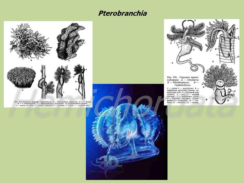 Pterobranchia Hemichordata