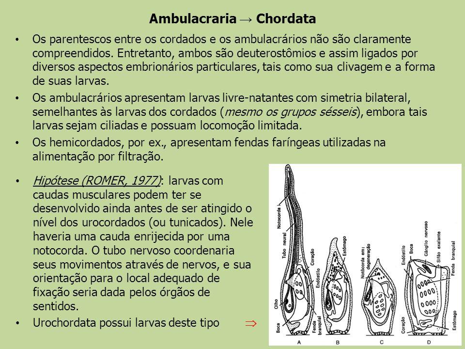 Ambulacraria → Chordata