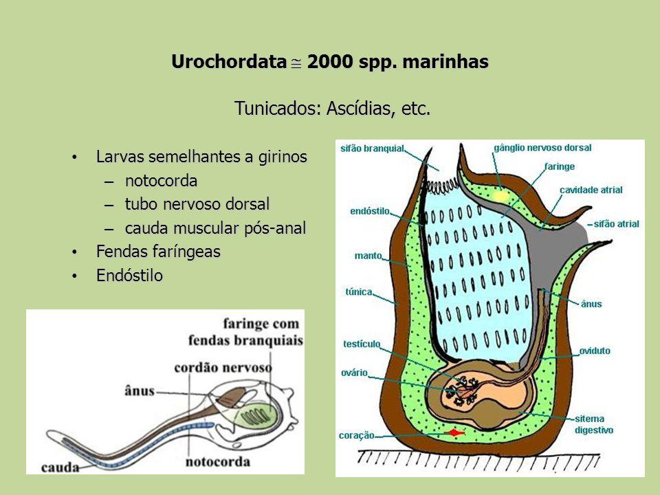 Urochordata  2000 spp. marinhas