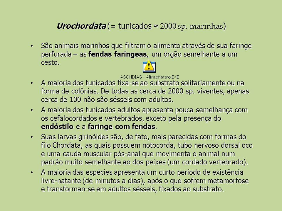 Urochordata (= tunicados ≈ 2000 sp. marinhas)