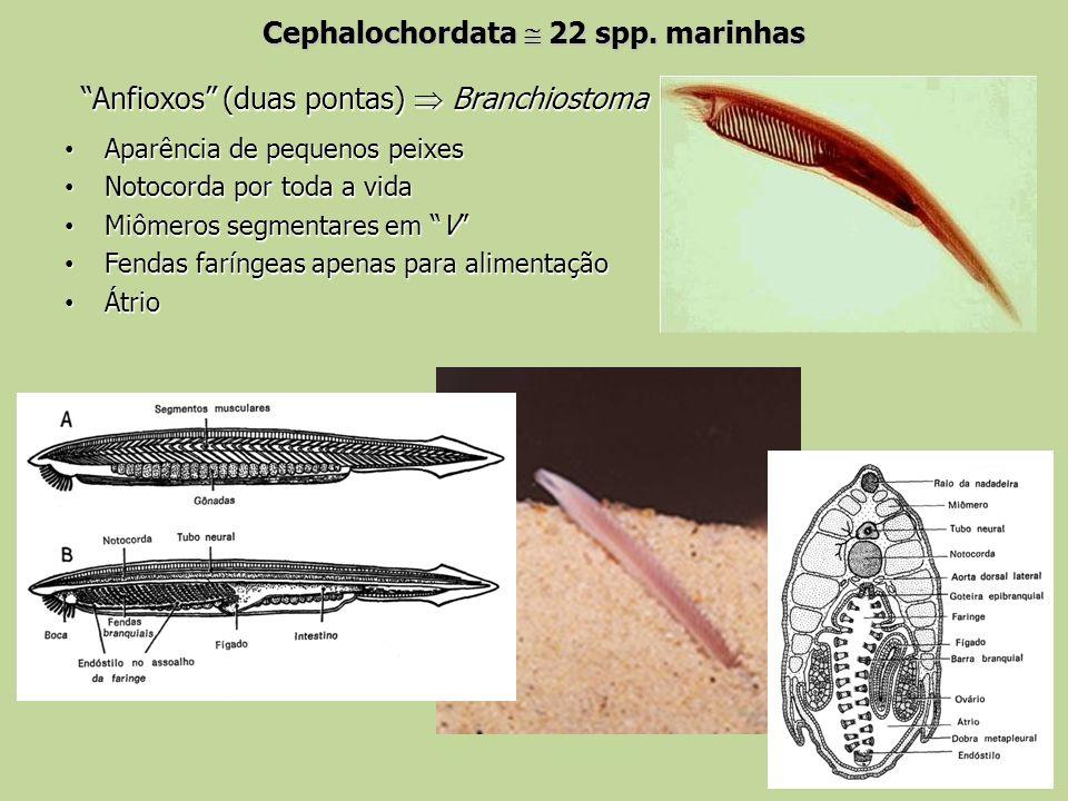 Cephalochordata  22 spp. marinhas
