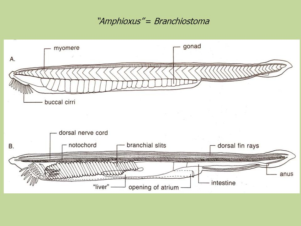 Amphioxus = Branchiostoma