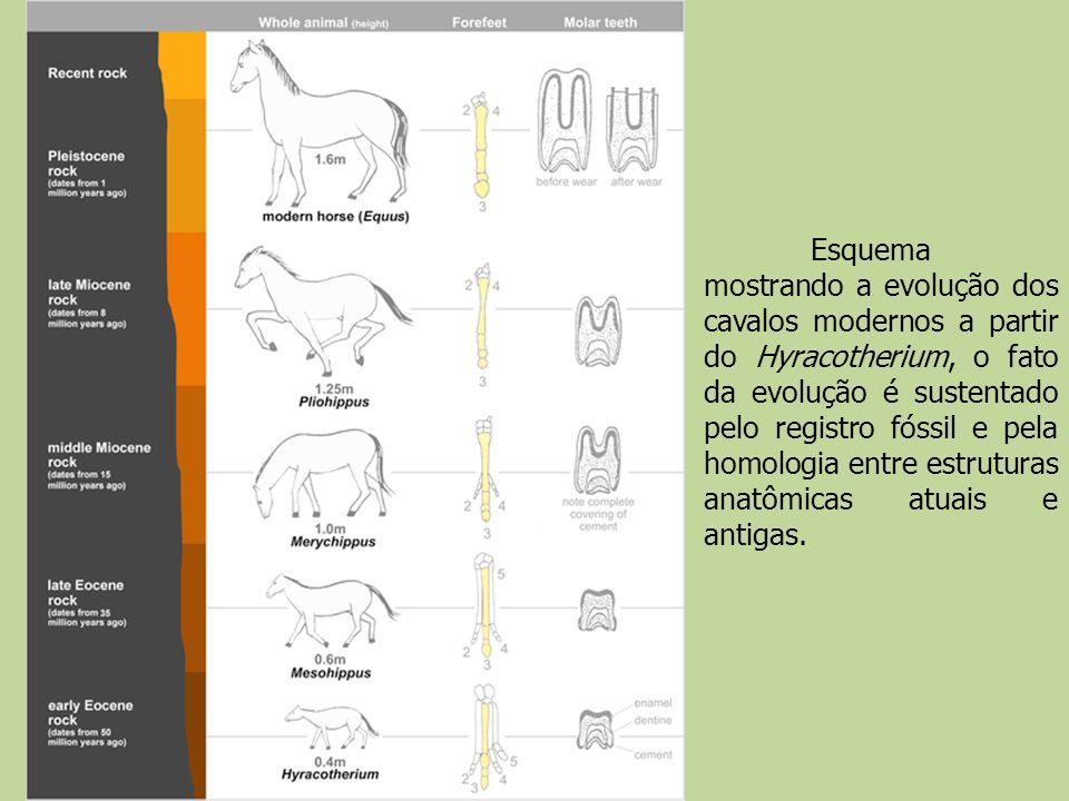 Esquema mostrando a evolução dos cavalos modernos a partir do Hyracotherium, o fato da evolução é sustentado pelo registro fóssil e pela homologia entre estruturas anatômicas atuais e antigas.
