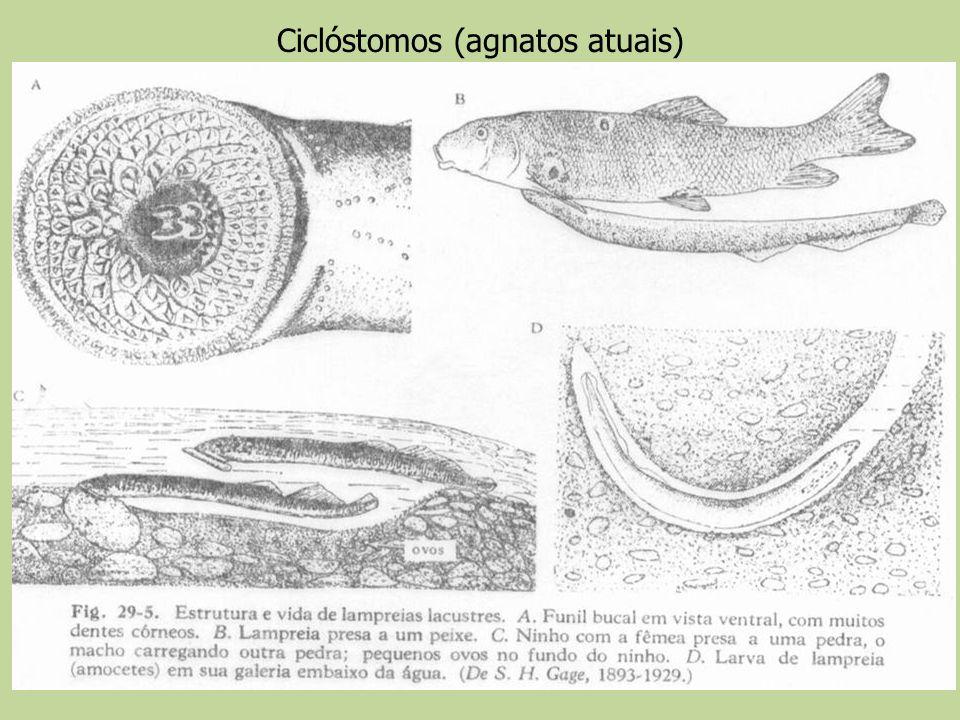 Ciclóstomos (agnatos atuais)