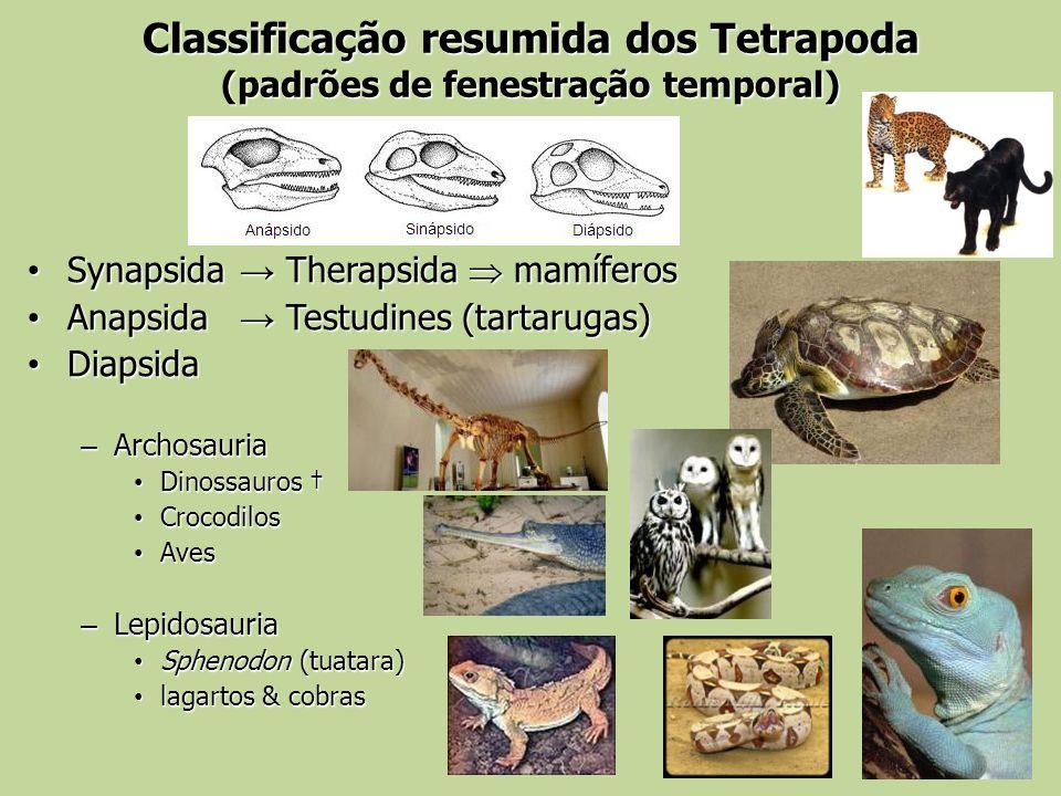 Classificação resumida dos Tetrapoda (padrões de fenestração temporal)