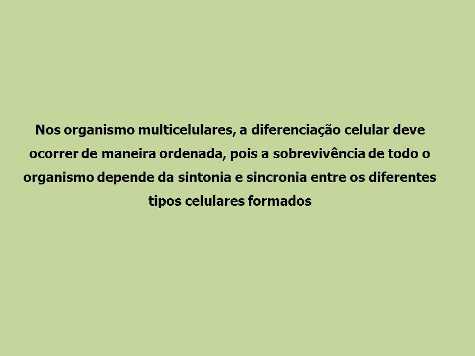 Nos organismo multicelulares, a diferenciação celular deve ocorrer de maneira ordenada, pois a sobrevivência de todo o organismo depende da sintonia e sincronia entre os diferentes tipos celulares formados