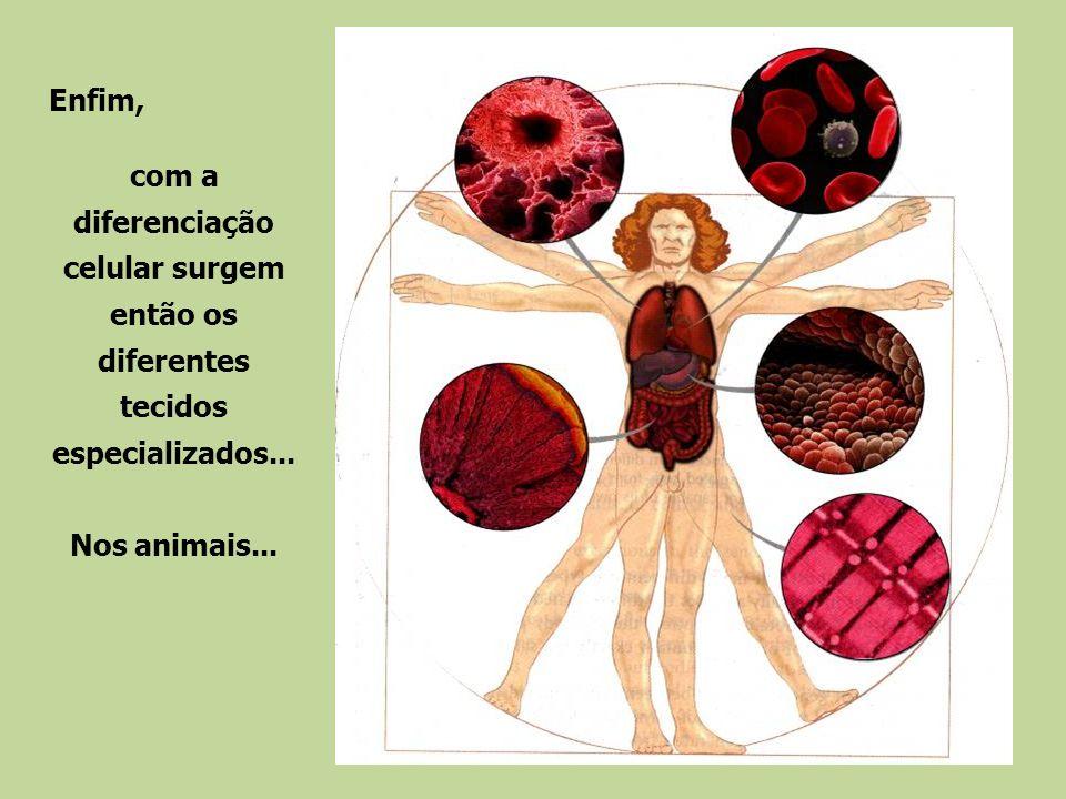 Enfim, com a diferenciação celular surgem então os diferentes tecidos especializados...