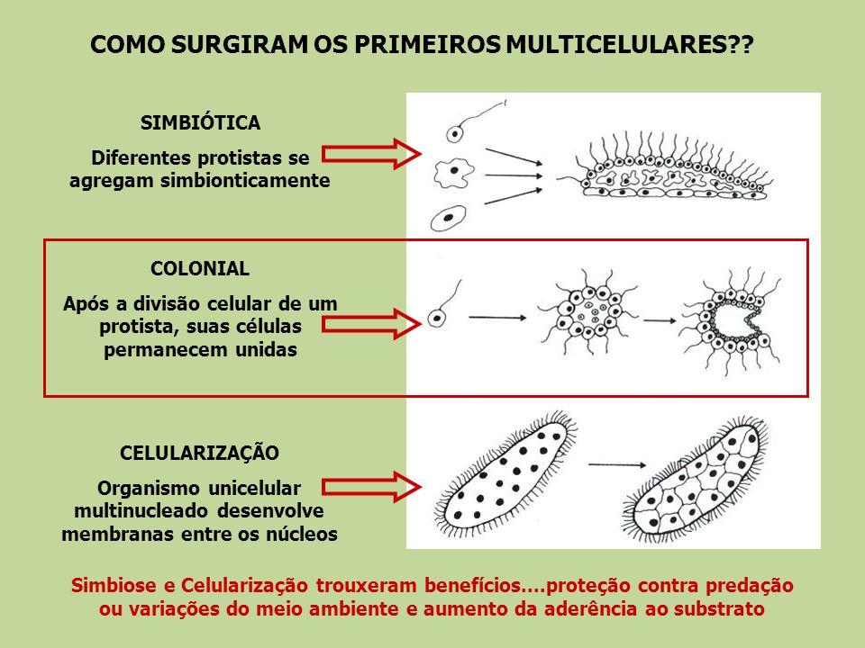 COMO SURGIRAM OS PRIMEIROS MULTICELULARES