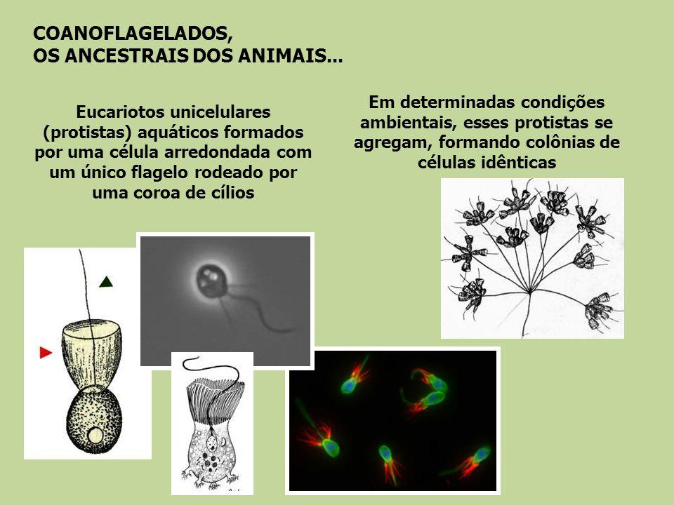 COANOFLAGELADOS, OS ANCESTRAIS DOS ANIMAIS...