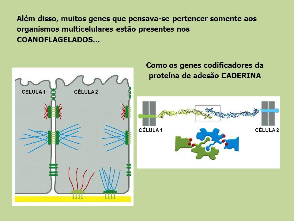 Como os genes codificadores da proteína de adesão CADERINA