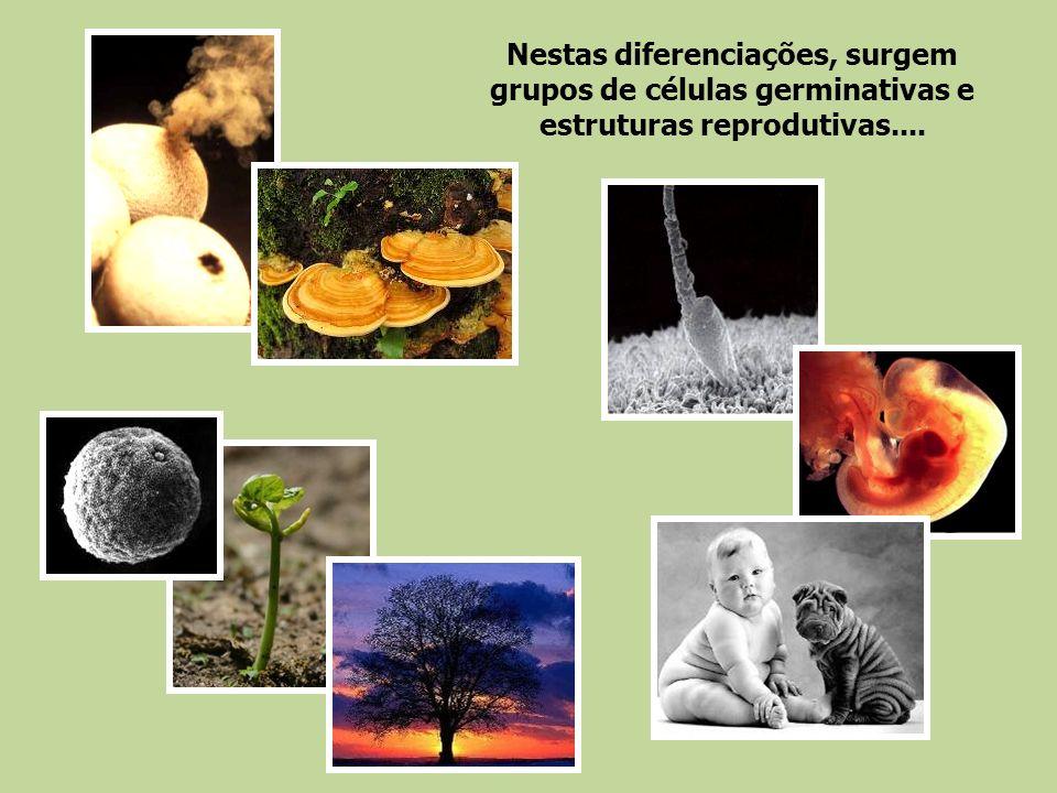 Nestas diferenciações, surgem grupos de células germinativas e estruturas reprodutivas....