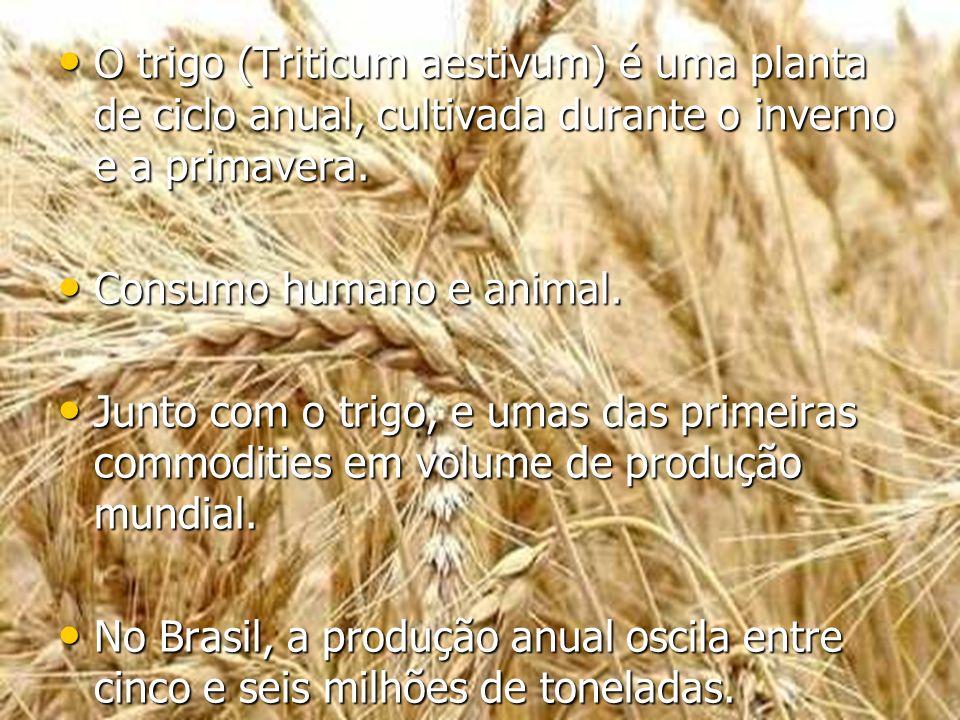 O trigo (Triticum aestivum) é uma planta de ciclo anual, cultivada durante o inverno e a primavera.