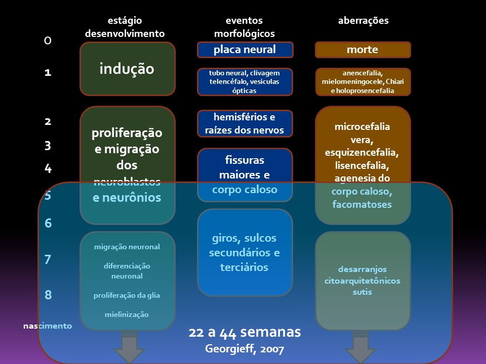 induçãoproliferação e migração dos neuroblastos e neurônios. migração neuronal. diferenciação neuronal.