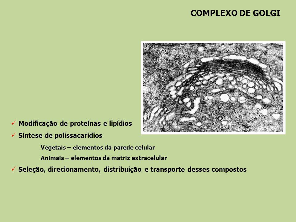 COMPLEXO DE GOLGI Modificação de proteínas e lipídios