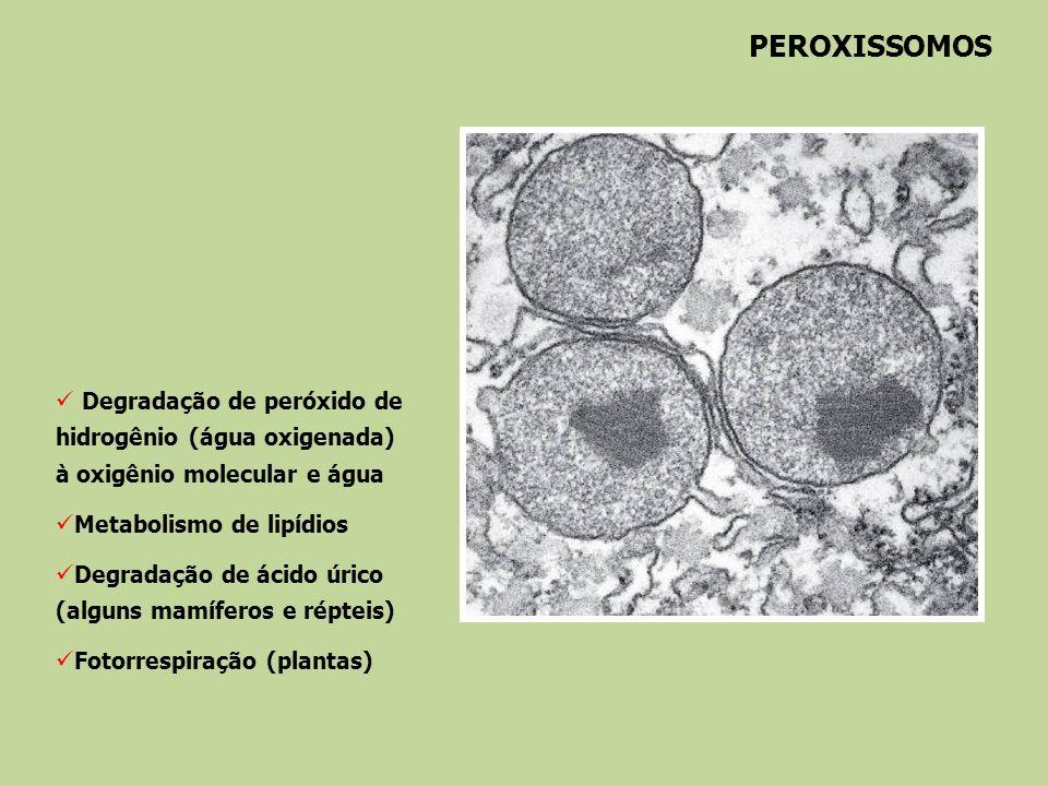 PEROXISSOMOSDegradação de peróxido de hidrogênio (água oxigenada) à oxigênio molecular e água. Metabolismo de lipídios.