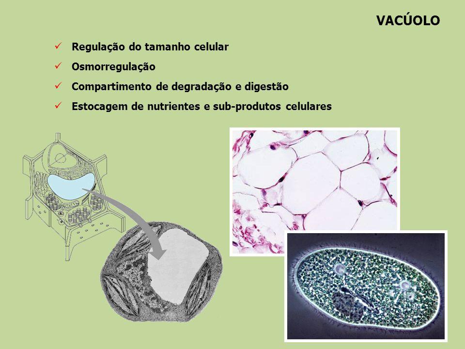 VACÚOLO Regulação do tamanho celular Osmorregulação
