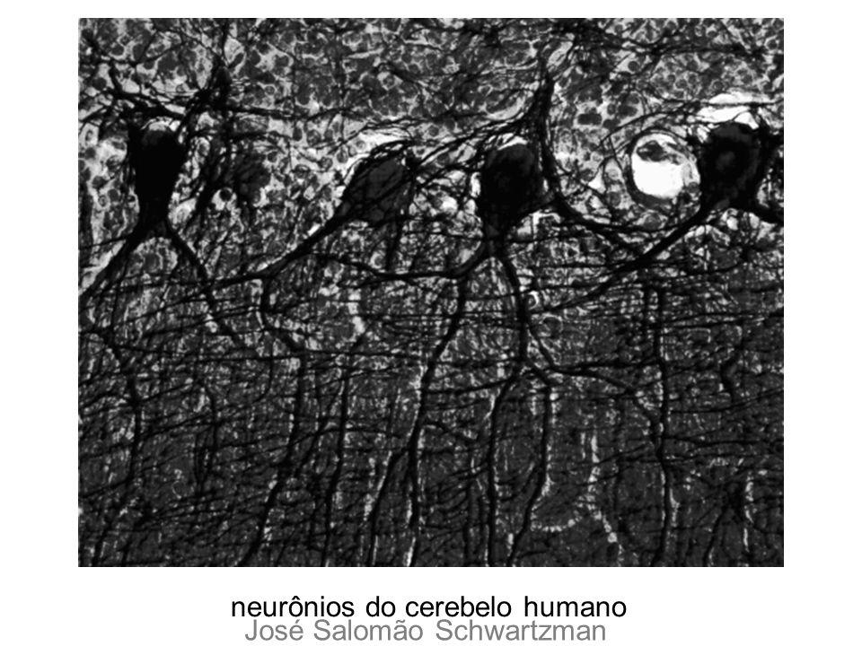 neurônios do cerebelo humano
