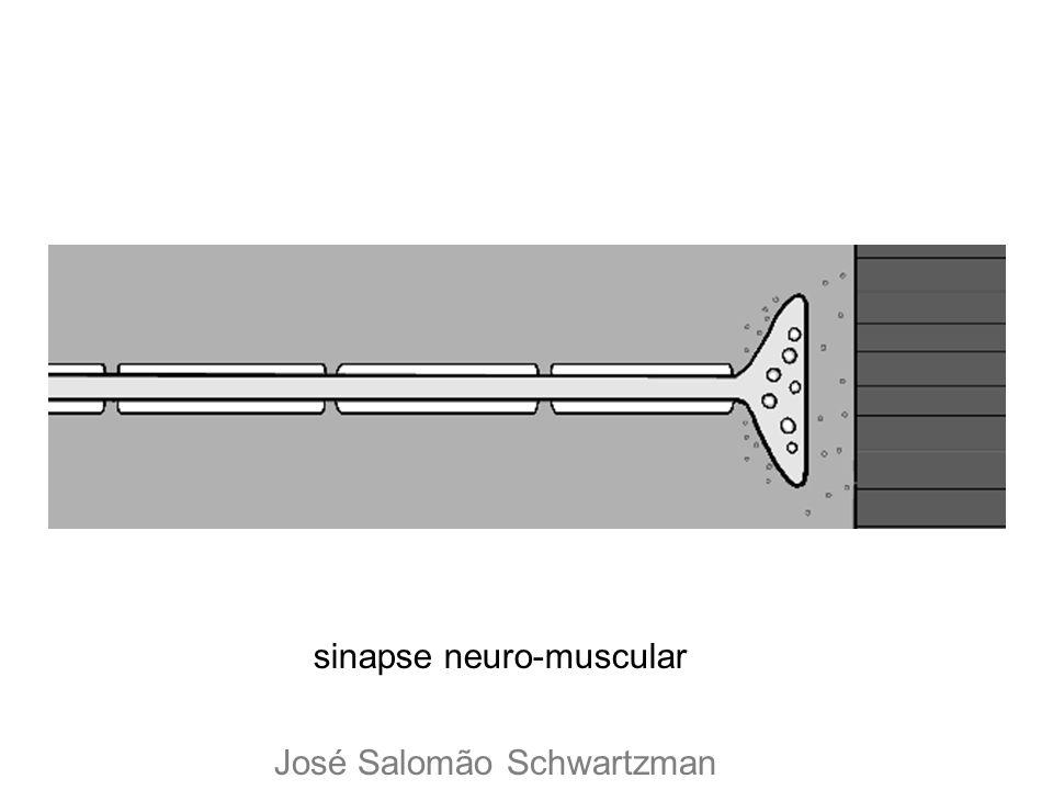sinapse neuro-muscular