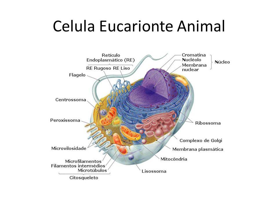 Celula Eucarionte Animal