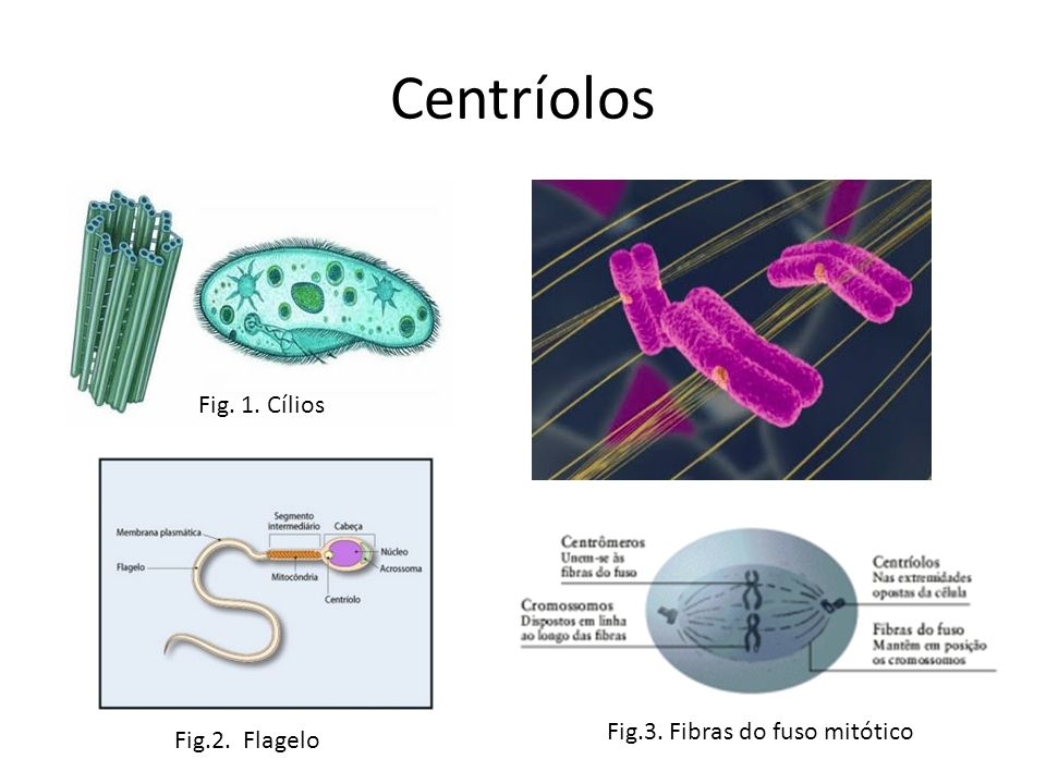 Centríolos Fig. 1. Cílios Fig.3. Fibras do fuso mitótico