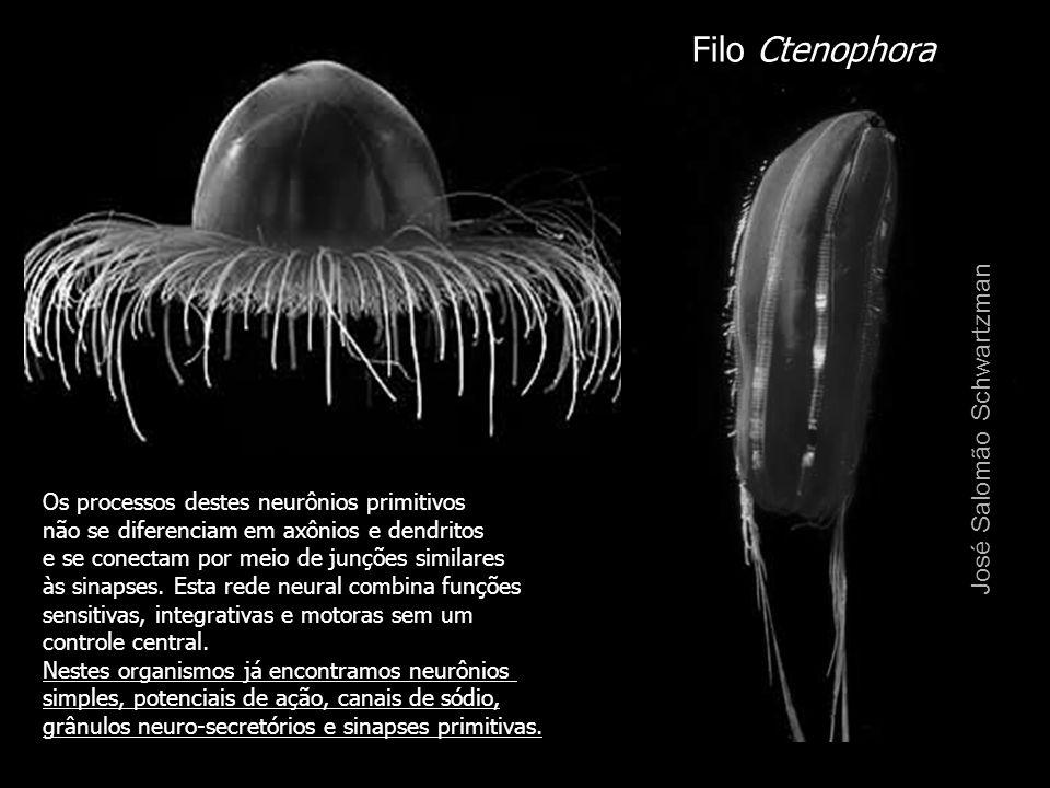 Filo Ctenophora José Salomão Schwartzman