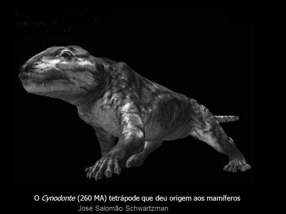 O Cynodonte (260 MA) tetrápode que deu origem aos mamíferos