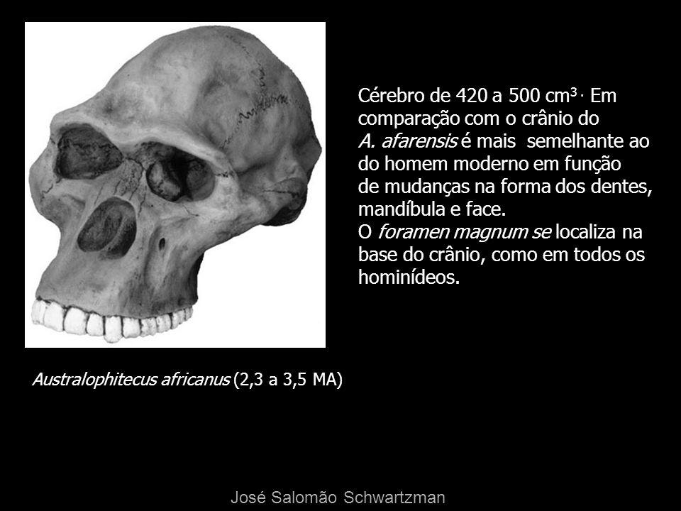 Cérebro de 420 a 500 cm3 . Em comparação com o crânio do