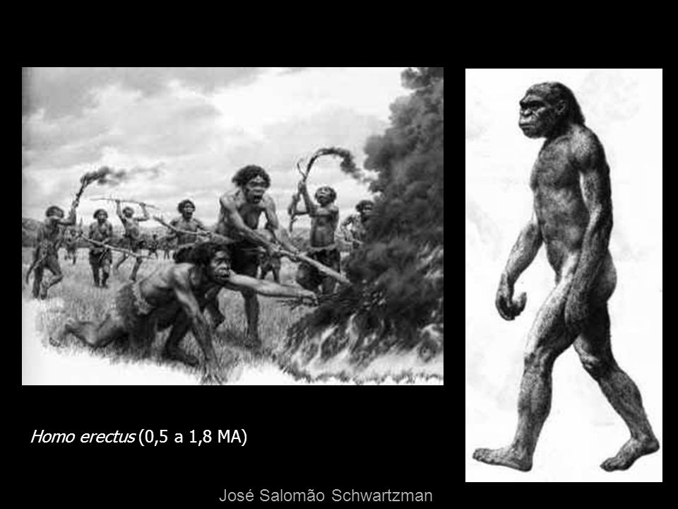 Homo erectus (0,5 a 1,8 MA) José Salomão Schwartzman