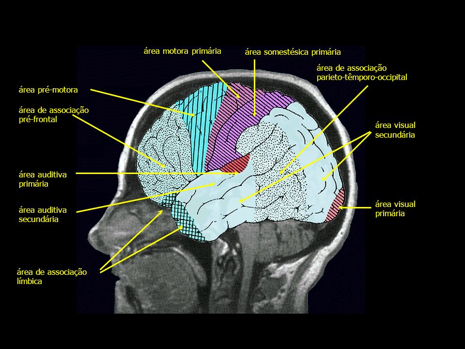 área motora primáriaárea somestésica primária. área de associação. parieto-têmporo-occipital. área pré-motora.