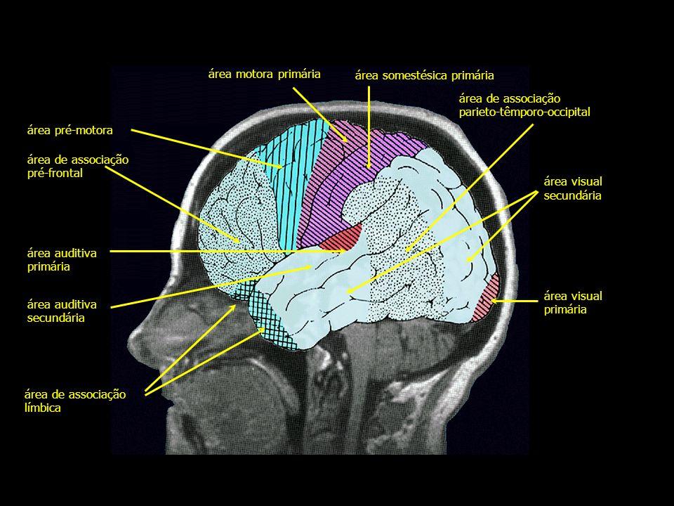 área motora primária área somestésica primária. área de associação. parieto-têmporo-occipital. área pré-motora.