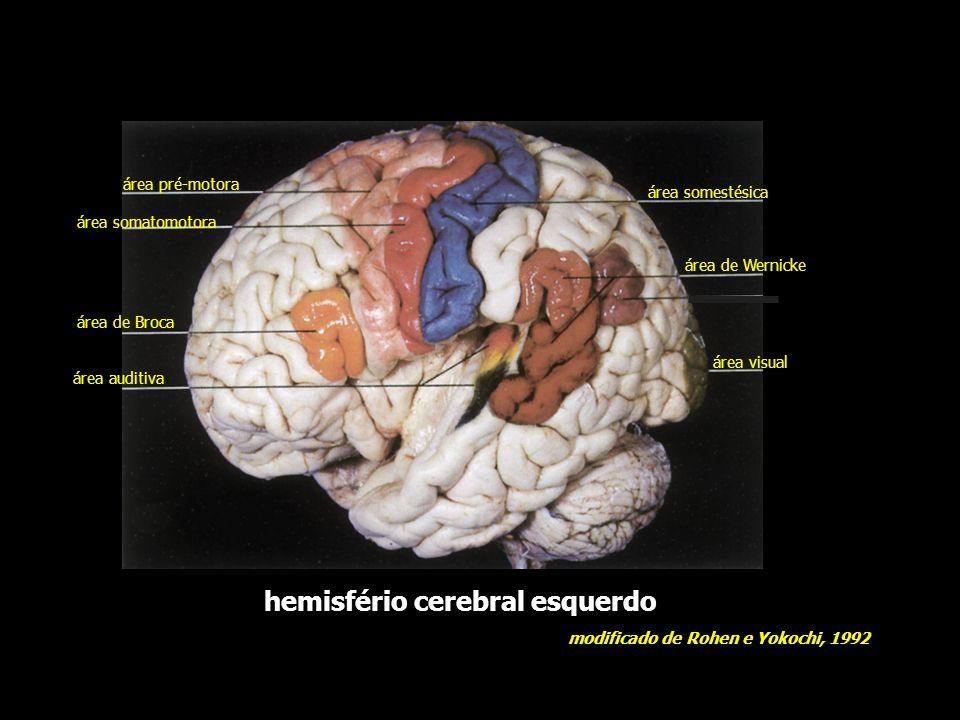 hemisfério cerebral esquerdo