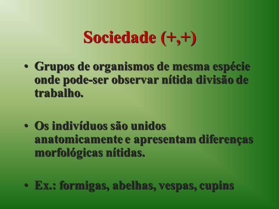 Sociedade (+,+) Grupos de organismos de mesma espécie onde pode-ser observar nítida divisão de trabalho.