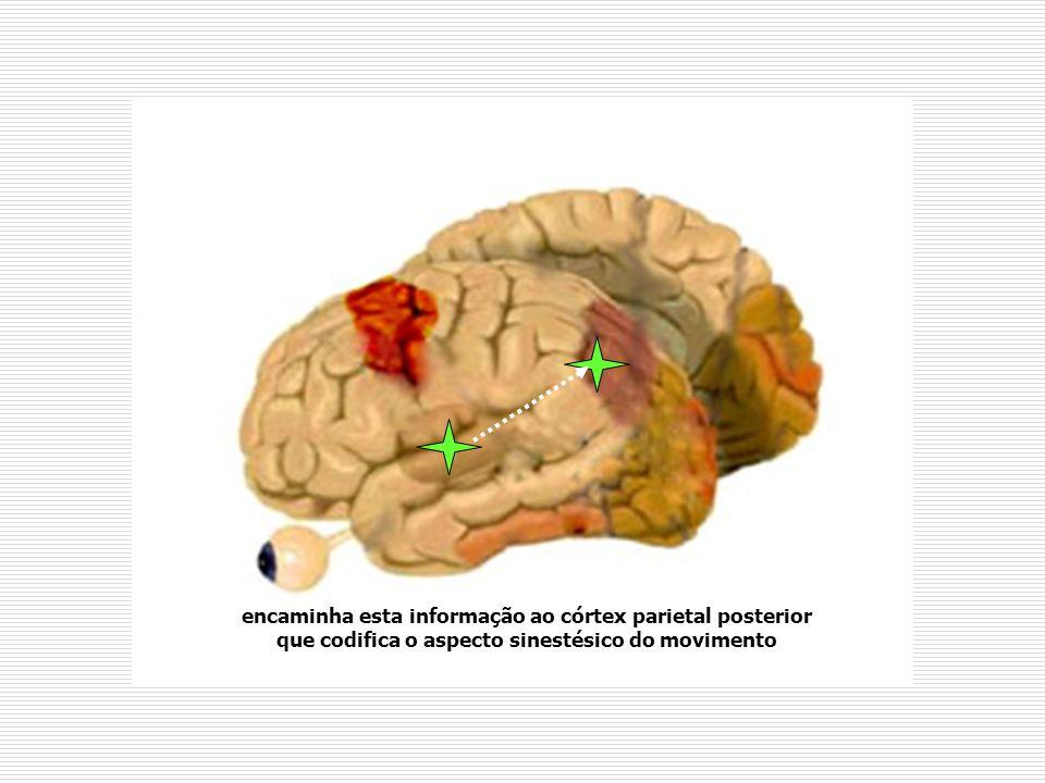encaminha esta informação ao córtex parietal posterior